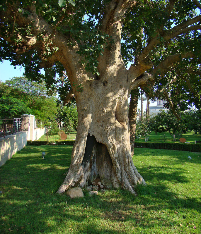 SYCHOMORE TREE