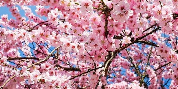 ceriser en fleurs