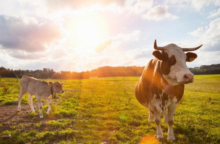 calf cow
